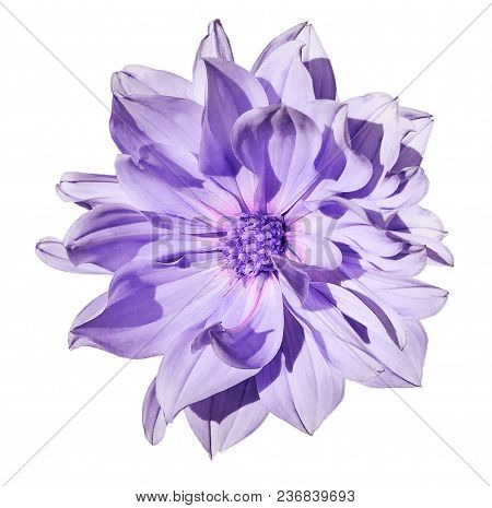 Dahlia  Light Purple Flower  On An Isolated White Background With Clipping Path. Closeup. No Shadows
