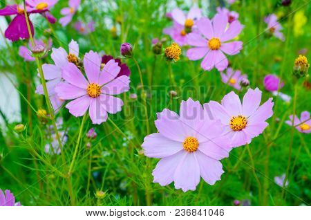Spring Flower Landscape With Pink Cosmos Flowers - In Latin Cosmos Bipinnatus - At The Spring Meadow
