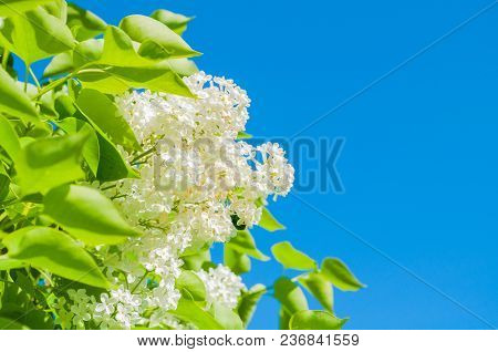 Spring Flower Background With White Spring Lilac Flowers On The Background Of The Blue Sky In Spring