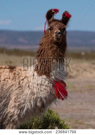 Decorated llama (Lama glama) over blurred natural background. Bolivia
