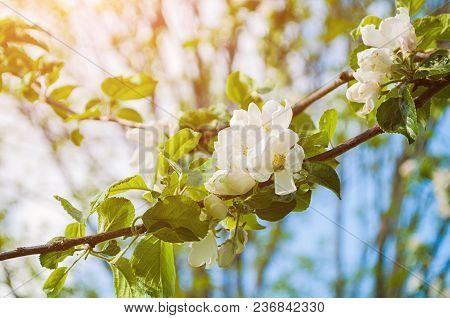 Spring Flowers Of Apple Tree Blooming In The Spring Garden - Sunny Spring Garden Landscape Scene