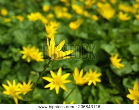 Yellow marsh marigold (Caltha palustris) flowers at sunny spring day