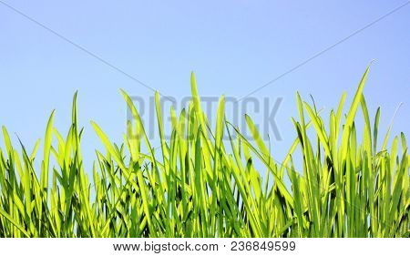 Fresh Grass On Blue Sky Background. Spring Nature Backdrop, Summer Lawn In Sunlight. Bright Green He