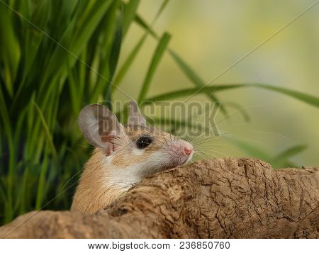 Closeup Young  Scared Mouse  Looks Out From-for Snags On Background Of Grass