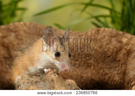 Closeup Young  Scared Mouse Sits On Snag On Background Of Grass