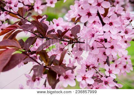 Beautiful Cherry Blossom Sakura In Spring Time Over Blue Sky, Soft, Softness, Tenderness