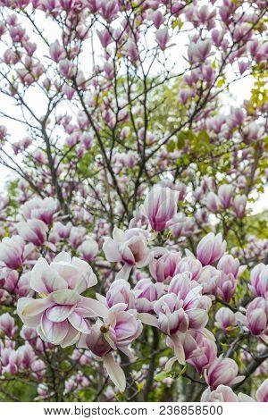 Pink Magnolia Flower In The Garden. Natural Soft Floral Background
