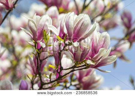 Pink Magnolia Flowers In The Garden. Natural Soft Floral Background
