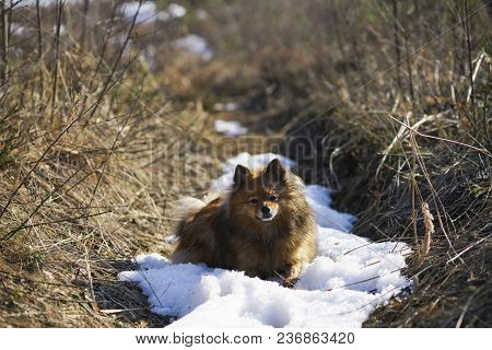 German Spitz At Sunset, Dawn, Rays Of The Sun Is Resting And The Last Of The Winter Snow