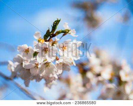 Cherry Blossom, Sakura Flower In The Park, Create Greeting Card