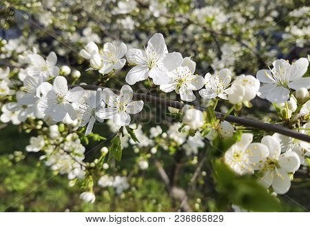 cherry blossom background, spring gardening beautiful botany poster