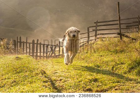 Beautiful White Dog Running In The Morning In The Green Grass,countryside
