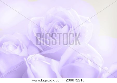 Soft Full Blown Beige Roses As A Neutral Background For Wedding. Selective Focus. Toned Image.