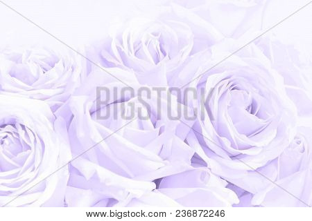 Soft Full Blown Delicate Ultraviolet Roses As Neutral Background. Pattern.
