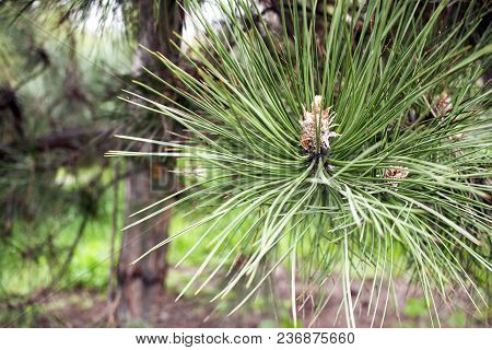 Closeup Photo Of A Green Pine Needles On The Right Side Of The Image. Small Pine Cones At The End Of