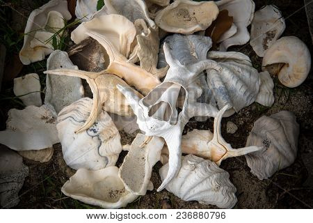 Sea Shell On The Beach Against The Background Of Broken Shells. Andaman And Nicobar Islands India. L