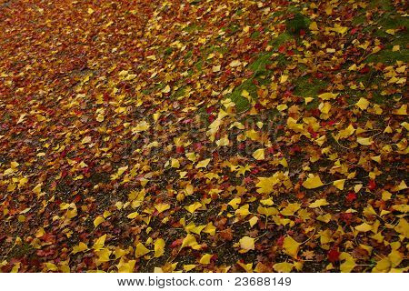 the carpet of the ginkgo leaves