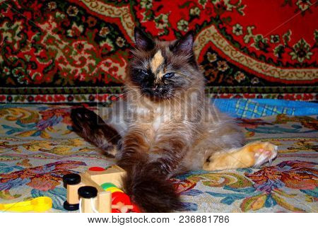 Neva Masquerade Cat Resting On The Carpet, Moscow