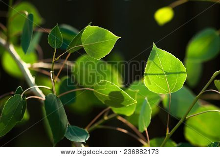 The Green Leaves Of An Aspen Tree Glow In The Summer Sunlight.