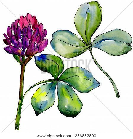 Wildflower Clover Flower In A Watercolor Style Isolated. Full Name Of The Plant: Clover. Aquarelle W