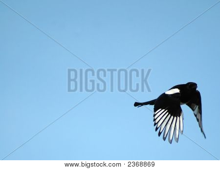Speeding Magpie