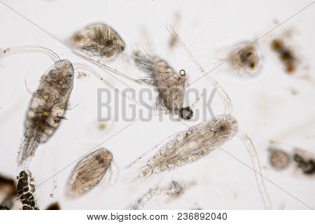 Copepod (zooplankton) Are A Group Of Small Crustaceans Found In The Marine And Freshwater Habitat.