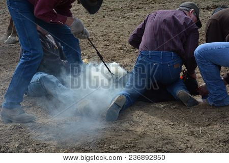 Branding Calf, Smoke Rolling Off Branded Calf, Ranching Life