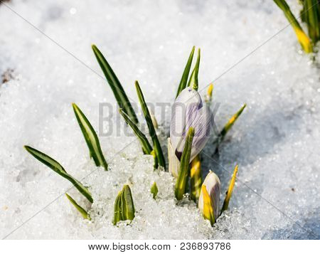 First Blue Flowers Of Crocus In The Snow, Spring Saffron