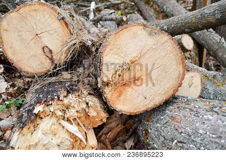 Spilled Natural Cut Logs, Tree Trunks, Branches In A Section In A Sawmill In The Forest Backdrop