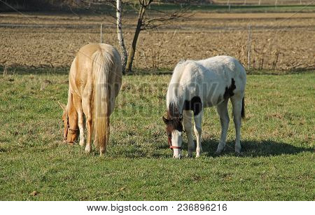 Two Horses Pasturing Together On The Meadow