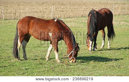 Two Brown Horses Pasturing On The Meadow