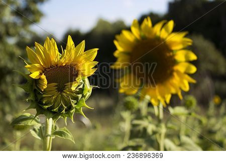 Two Sunflowers In A Field On A Background Of Trees. Flowering Su