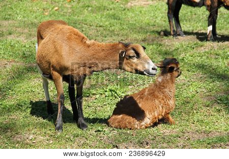 Cameroon Sheep With Young Lamb On The Pasture