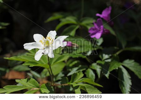 Close Photo Of A White Bloom Of Wood Anemone In Contrast With Dark Background