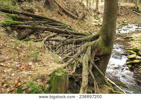 Spruce Tree With Revealed Bizarre Roots Growing Above A Brook, Beskydy Mountains, Czech Republic