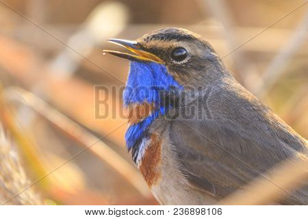 Bird With A Blue Throat Sings In The Morning Rays, Animals And Birds