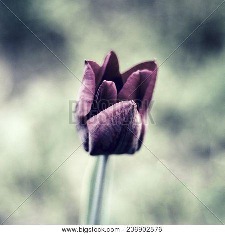 One Black Tulips In The Garden. Photo. Vintage
