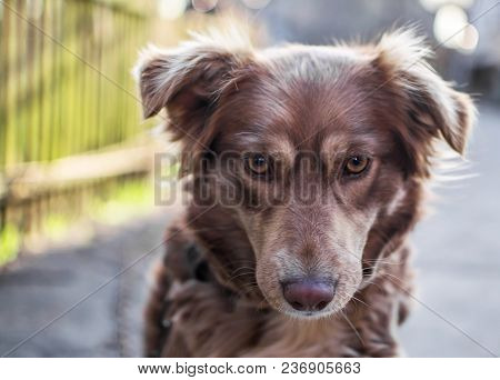 Close-up Portrait Of Beautiful Brown Dog Looking Down Sitting Outside In Yard On Old Wooden Fence Bl