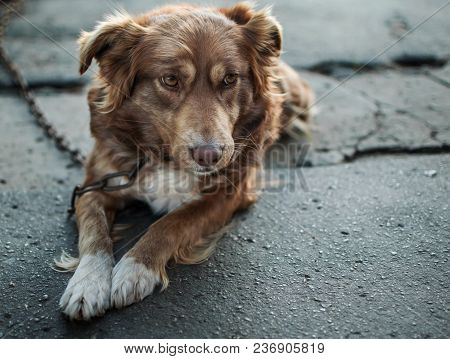 Close-up Portrait Of Cute Sad Or Unhappy Chained Brown Or Red Dog Lying Or Resting On Old Village Ya