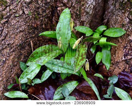 Several Trout Lily Flowers And Green And Purple Spotted Leaves Emerging Under A Tree In A Spring For