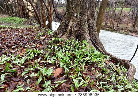An Abundance Of Spotted Green And Purple Trout Lily Flowers Emerging In A Spring Wetland Alongside A