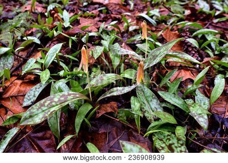 A Trio Of Trout Lily Flowers With Spotted Green And Purple Leaves Emerging In A Spring Forest.