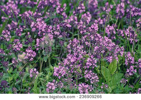 Thymus , Thyme - Healing Herb And Condiment Growing In Nature, Natural Floral Background