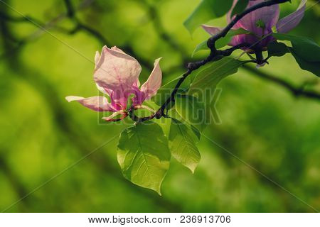 Blossoming Of Magnolia Pink Flower With Leaves In Spring Time, Floral Seasonal Background