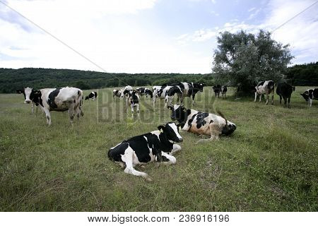 Cows Grazing On A Farmland, Laying And Standing