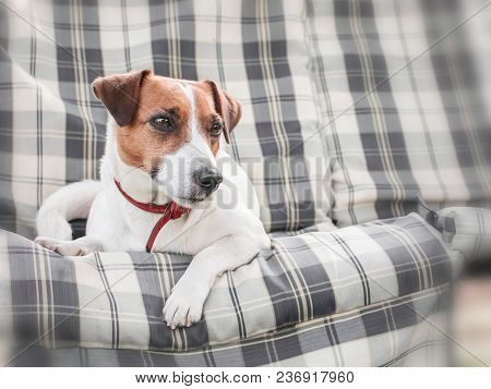 Close-up Portrait Of Cute Dog Jack Russell Lying On Gray Checkered Pads Or Cushion On Garden Bench O