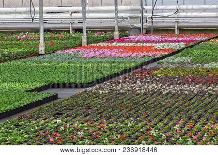 Dutch Greenhouse With Cultivation Of Colorful Begonia And Violet Flowers