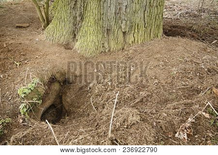 Entrance To A Badger Sett In The Woods