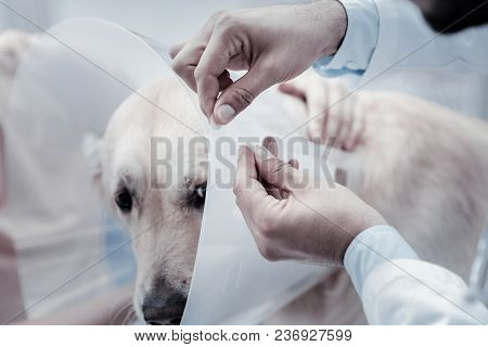 Elizabethan Collar. Close Up Of A Professional Elizabethan Collar Being Put On The Dog