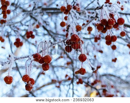 Crab Apples On Branches In The Winter Frost